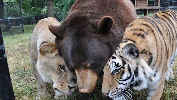 Un oso, un tigre y un león criados juntos durante 15 años se niegan a separarse