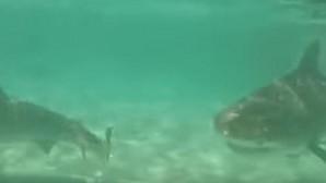 Los tiburones también atacan en manada: el vídeo de YouTube que demuestra la voracidad del «asesino del mar»