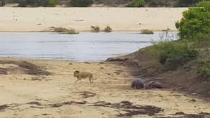 La heroica lucha de un bebé hipopótamo para defender a su madre de un león