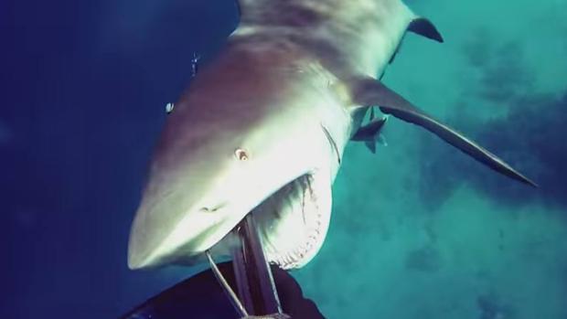 El buceador logró salvarse clavando su arpón en el tiburón