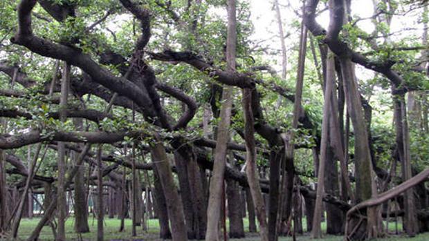 El gigantesco bosque indio formado por un único árbol