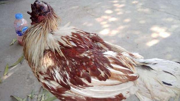 La gallina ha sido adoptada por una congregación de monjes