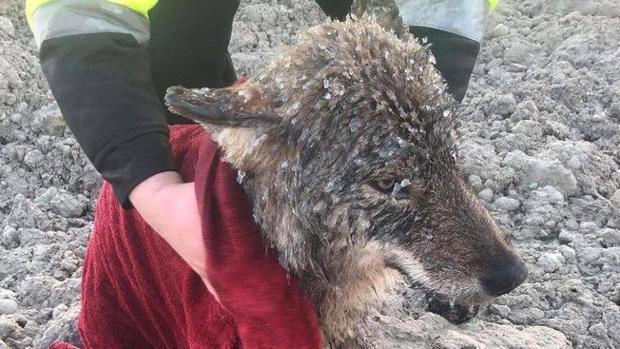 Imagen del lobo rescatado