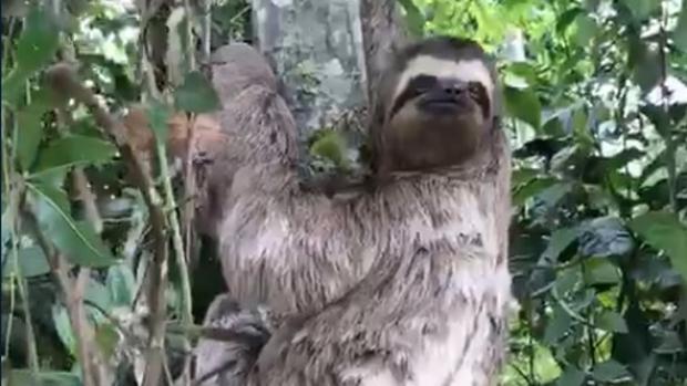 El perezoso rescatado en Río de Janeiro