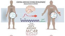 Cómo afecta el peso a los genes del esperma