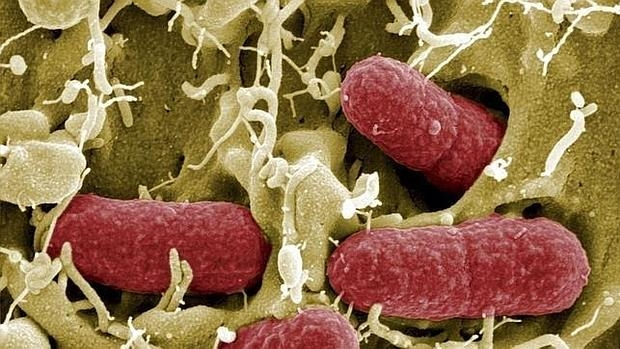 Bacterias intestinales humanas