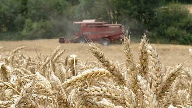 El gluten es una proteína presente en los cereales, caso del trigo