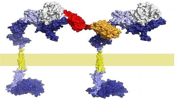 Inhibición del HER2 con el uso de DARPin