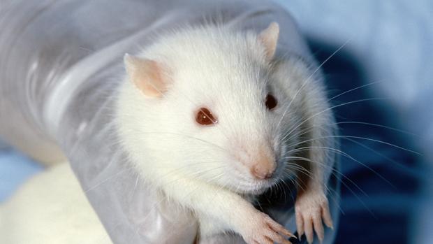Diseñan un ratón que resiste a la adicción a la cocaína