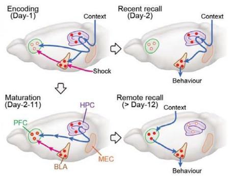 Diagrama del proceso de consolidación de la memoria