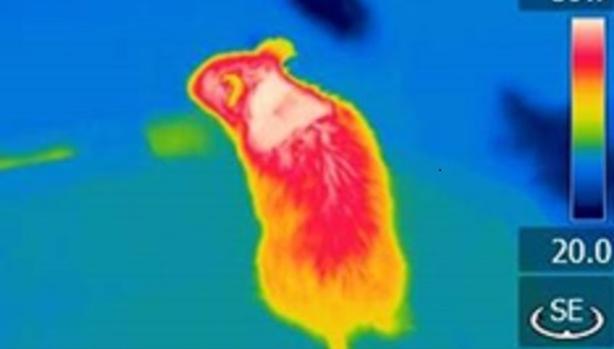 Foto térmica en la que se aprecia en blanco (máxima capacidad calorífica) la localización de la grasa marrón en el ratón