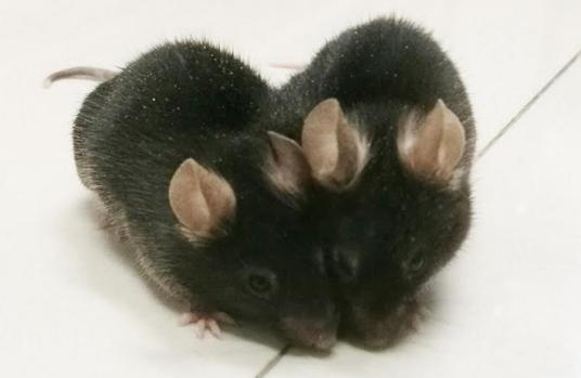 Ratones unidos quirúrgicamente
