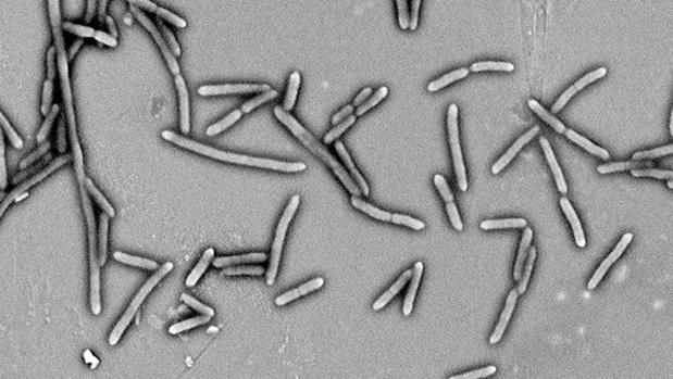 Cultivo de bacterias intestinales