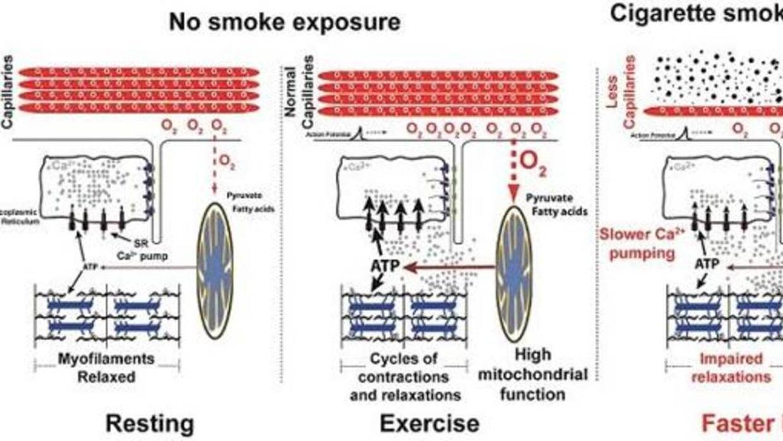 El tabaco causa un daño directo sobre los músculos del cuerpo