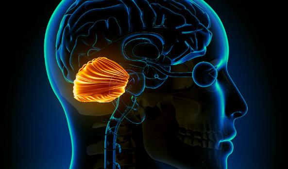 Las Funciones Ocultas Del Cerebelo Abren La Puerta A Nuevas Terapias