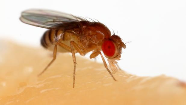En un estudio de un modelo de mosca de la fruta de la enfermedad de Huntington, los investigadores encontraron que el jet lag protegía el cerebro de las moscas de la enfermedad.