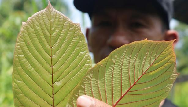 El kratom es una planta originaria del sudeste asiático que actúa como opioide