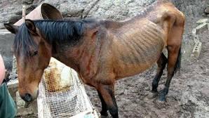 Caballo encontrado en Arucas junto a otros animales malnutridos en otro caso de maltrato animal