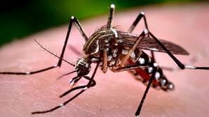 Los mosquitos del género «Aedes», como el mosquito tigre, pueden transmitir esta enfermedad