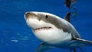 Los tiburones se orientan en el mar con el olfato