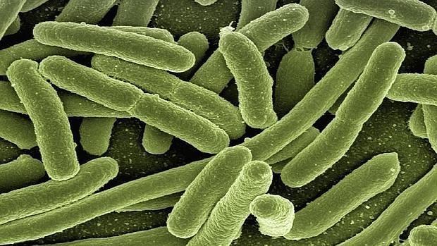 «E. coli», bacteria presente en nuestro intestino
