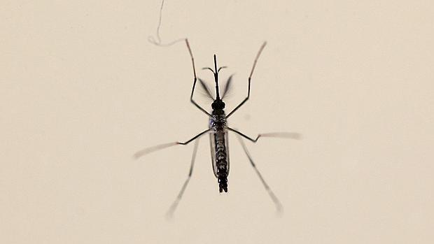 Mosquito «Aedes aegpyti», principal transmisor del zika