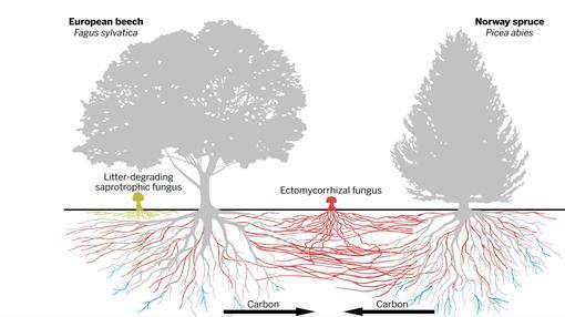 Los hongos conectan a los árboles de distitnas especies entre sí