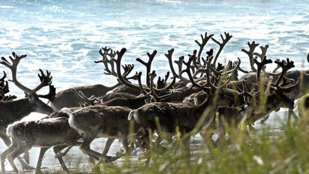El cadáver de un reno en Siberia ha supuesto el gérmen de un nuevo brote de ántrax