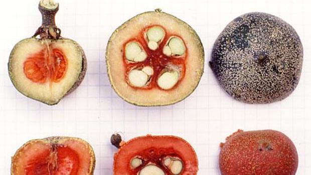 La brazeína se obtiene del fruto de una planta africana llamada Oubli, en la imagen