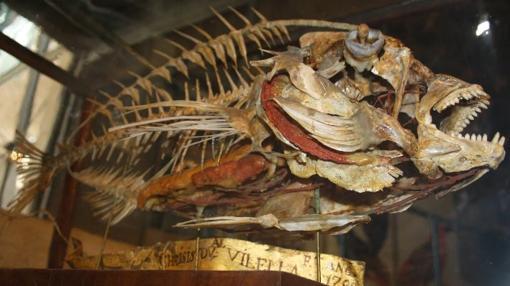 Pieza del Museo de Ciencias Naturales. Esqueleto de Pargo (Pagrus pagrus). S. XVIII
