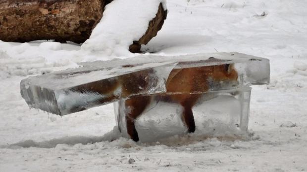 La imagen de un zorro congelado en Alemania se ha convertido en un icono del temporal de frío que se ha instalado en Europa