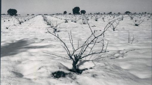 Viñedos de Minglanilla bajo el frío de las tierras heladas de Albacete en 1971