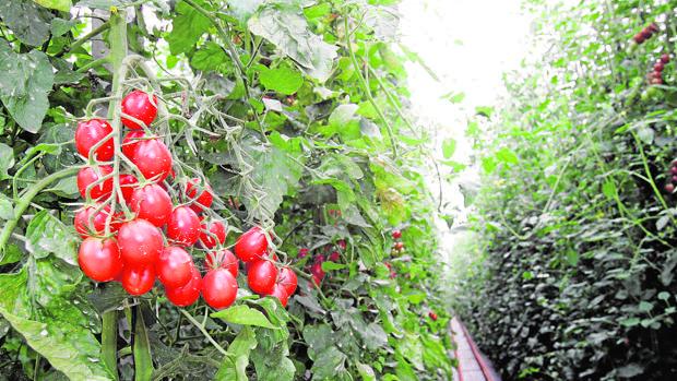 El tomate es la hortaliza de mayor valor cultivada en el mundo