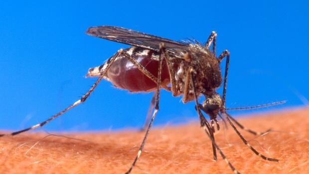 El mosquito «Aedes aegypti», transmisor de la fiebre amarilla