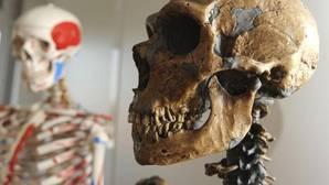Cráneode neandertal utilizado por un equipo internacional de investigadores,con participación española, que descifró el primer borrador del genoma del neandertal, que revela que el Homo sapiens euroasiático comparte del 1 al 4 por ciento de su ADN con los neandertales