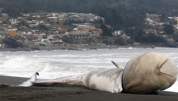 Decenas de personas observan una ballena muerta en las costas de Pelluhue (Chile). La ballena, con extraña protuberancia en su cabeza, se varó y fue encontrada por grupo de turistas