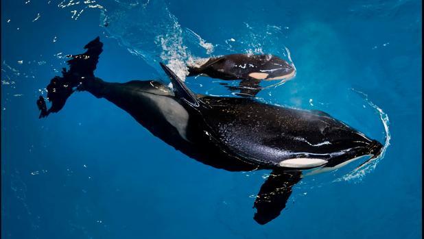 En SeaWorld , la orca Takara nada junto a su cría