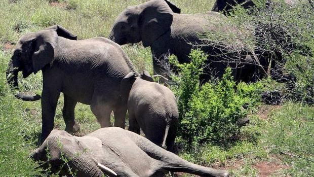 Un grupo de elefantes en el parque nacional de Kruger, en Sudáfrica