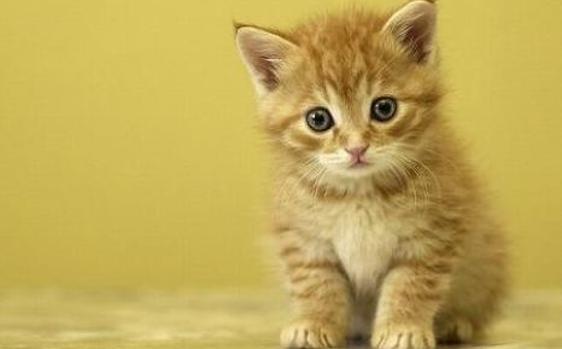 síntomas de diabetes mellitus felina en adultos