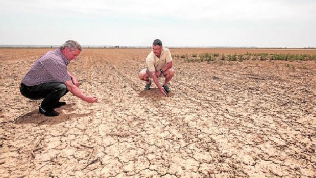 Suceso Aguado y Fernando Betegón comprueban los estragos de la sequía en una tierra sembrada de trigo en Mazariegos (Palencia)