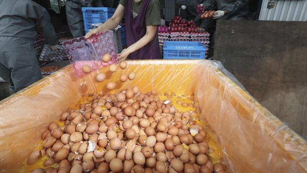 Trabajadores desechan kilos de huevos contaminados por fipronil