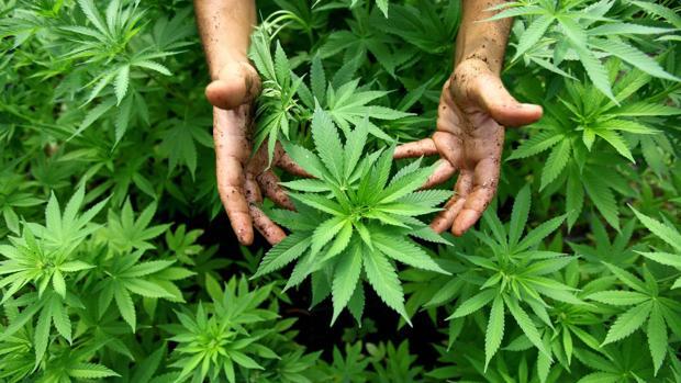 Los partidos se reunieron por primera vez para tratar la utilización del cannabis con fines terapéuticos