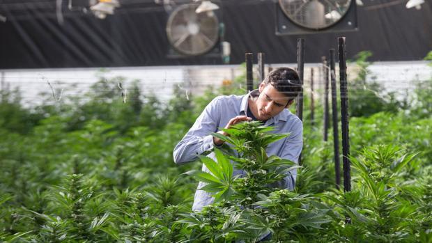 Uno de los técnicos de la mega planta de cannabis que ocupa más de 90.000 metros cuadrados