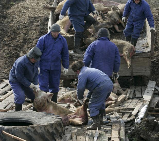 Trabajadores veterinarios rusos sacrifican decenas de cerdos para evitar la expansión del virus