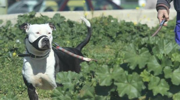 Perro de raza potencialmente peligrosa pasea por un parque