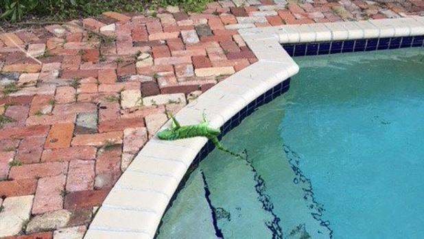 Una iguana congelada yace junto a una piscina en el estado Florida