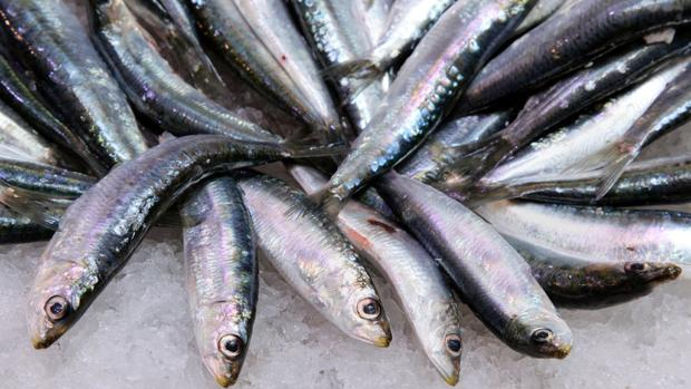 La sardina ibérica, la que se pesca en el Norte y en el golfo de Cádiz es la más apreciada