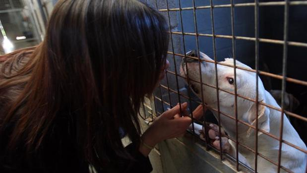 Un adiestradora de perros potencialmente peligrosos en un refugio en Santiago de Compostela