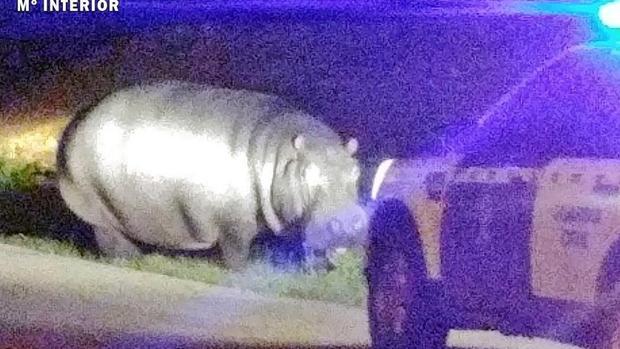 El hipopótamo paseando por La Garrovilla