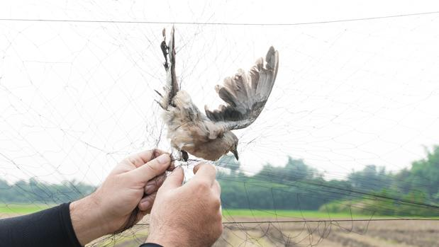 Europa quiere acabar con la captura de aves cantoras en España